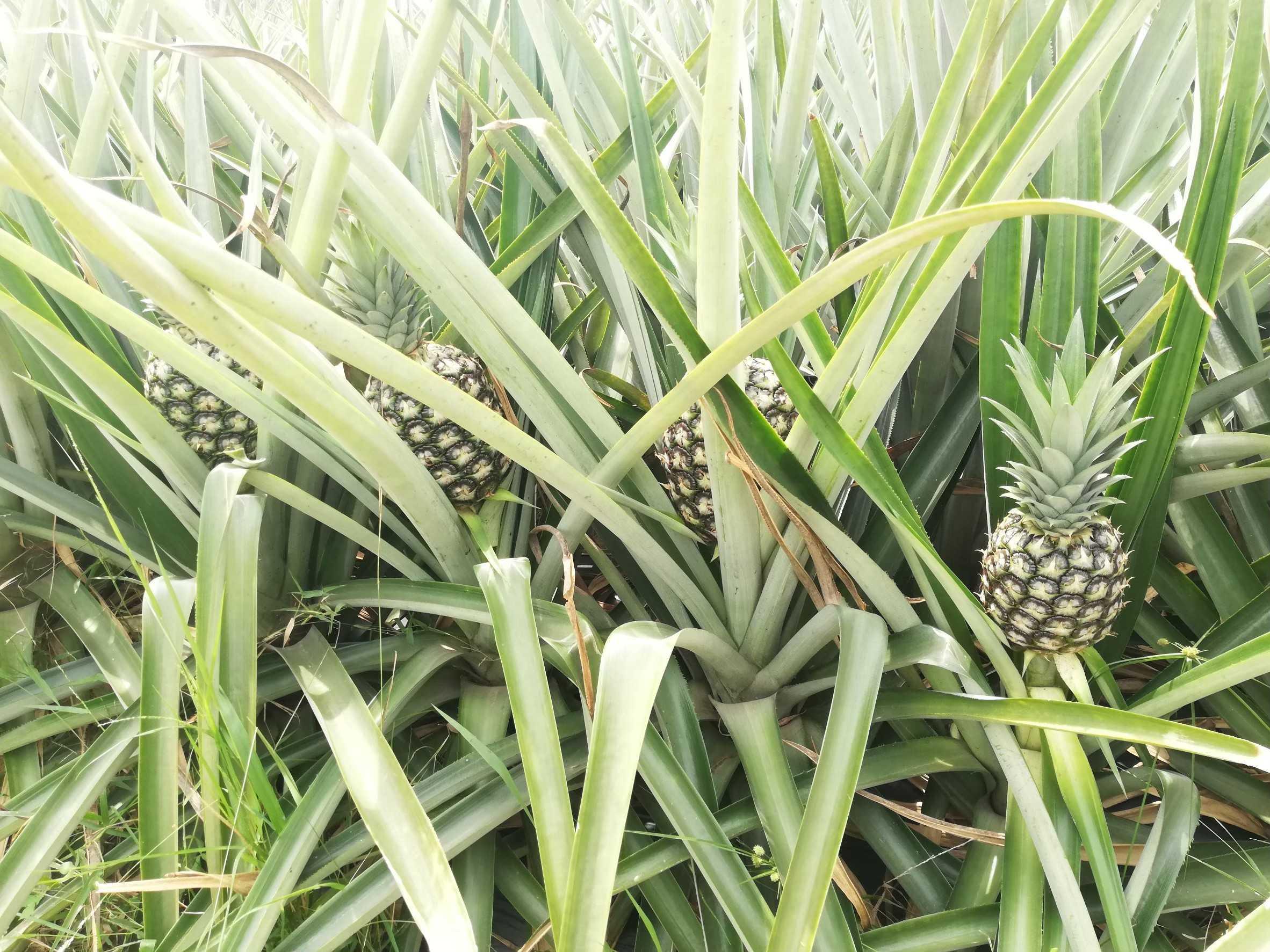 実績例⑤ ガーナの農業関連スタートアップを対象としたデュー・デリジェンス